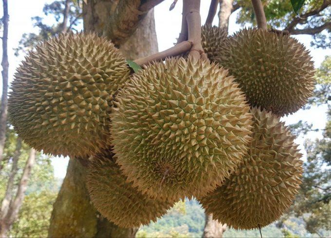 Karak 1.3 acres Freehold durian orchard