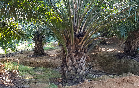 Cameron-Gua Musang 500 acres oil palm. Income Generating