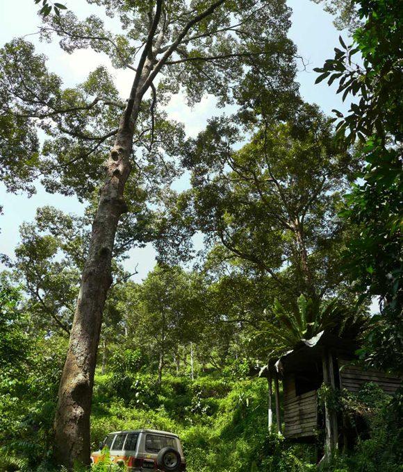 Jambu-Rias-1p3-acres-tall-tree