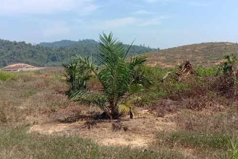 Lenggong 5,000 acres oil palm 13