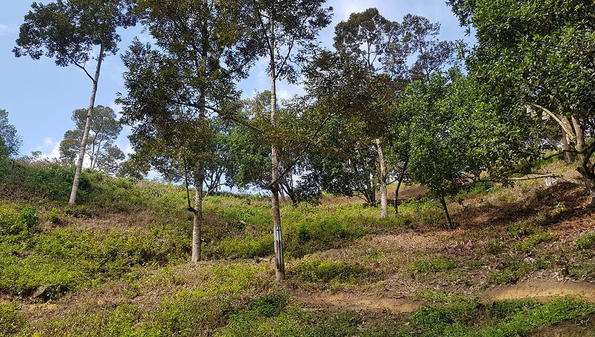 Sg Tekali 27 acres durian chempedak farm