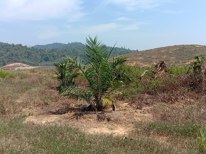 Lenggong 5,000 acres for oil palm. Partly planted
