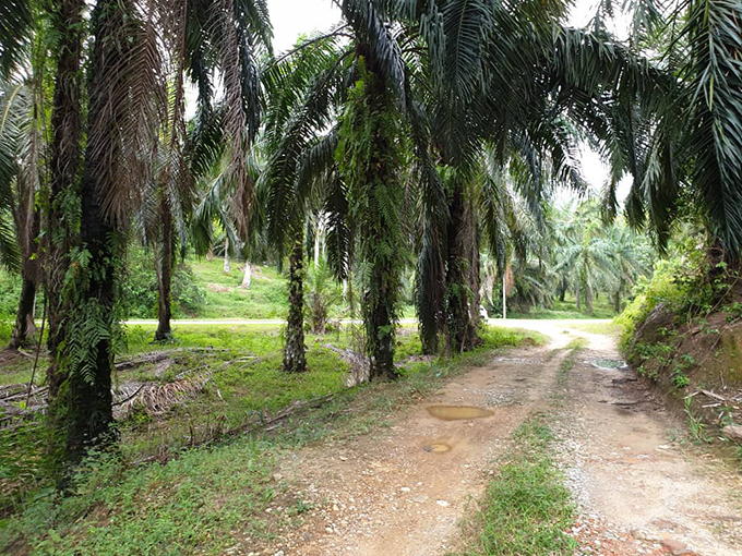 Taiping Kamunting 240-acres Oil Palm Estate Freehold