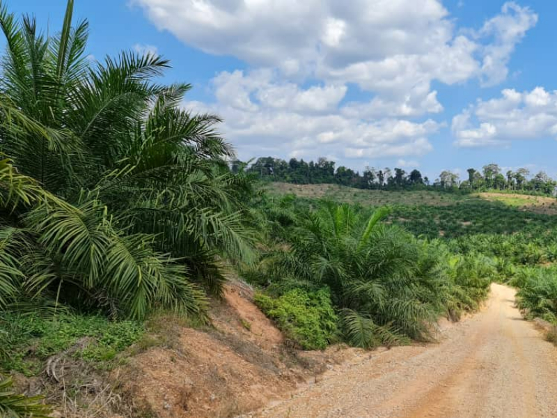 Gua Musang – 1400 acres vacant Oil Palm land (suitable for Durian Plantation)                          话望生 -油棕空地,也适合种榴莲