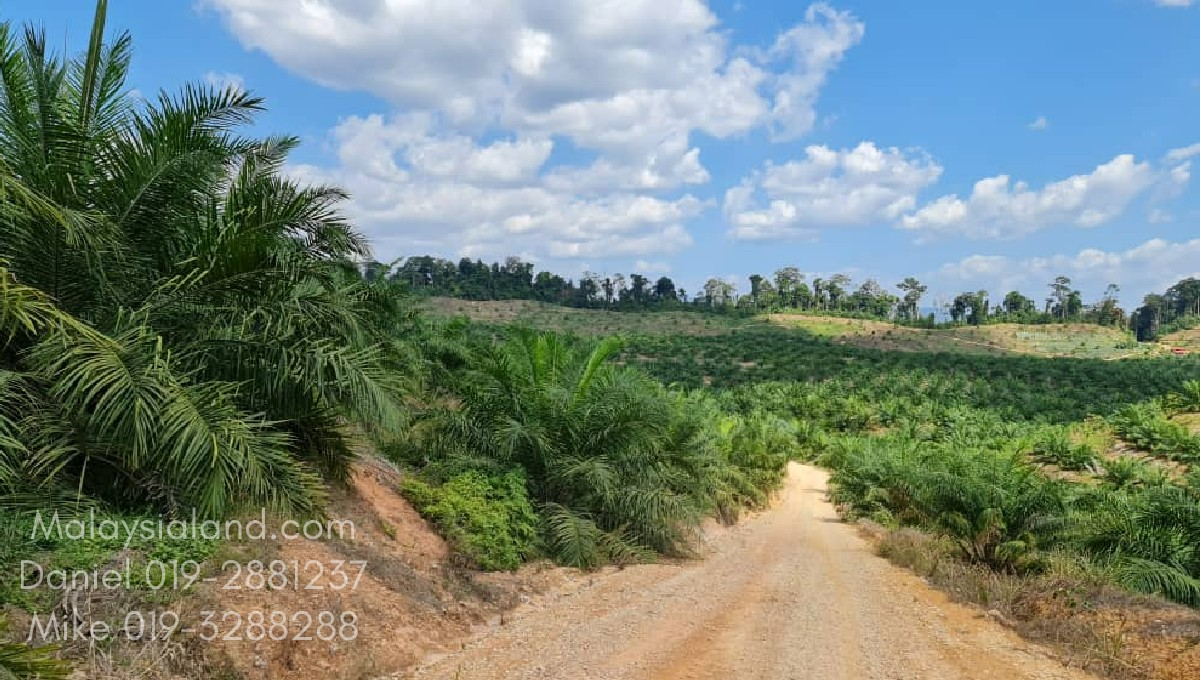 Surrounding also planted with Musang King durian. Part of the subject property is just above and beyond these oil palm and durian farm - Edited