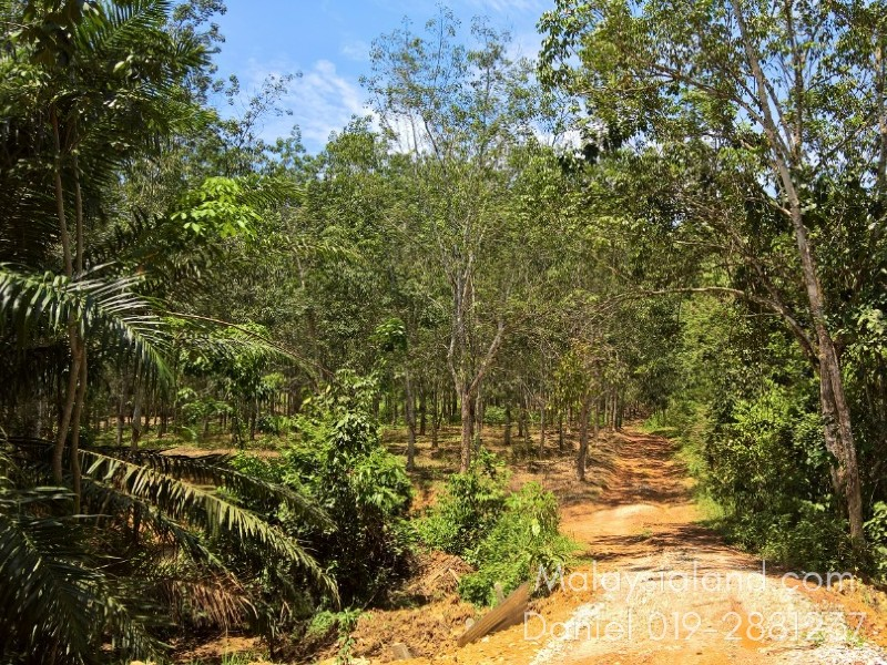 Kedah, Bedong – 274 acres Freehold Rubber and Oil Palm Estate
