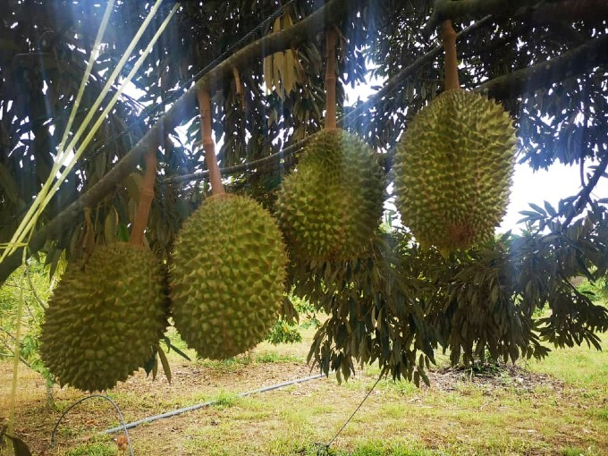 Karak, Pahang – 10 acres Freehold Durian Ochard (Planted with 400 Musang King around 7-8 years old) 彭亨加叻 – 十依格猫山王榴莲园