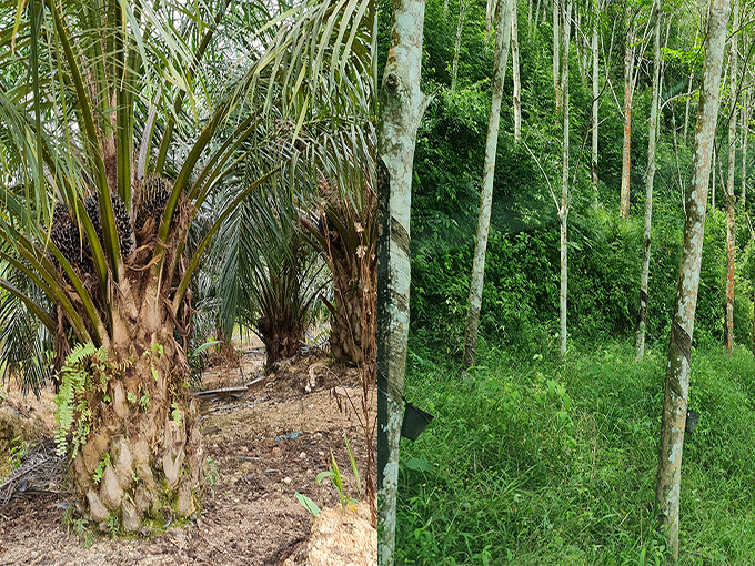 Looking for Oil Palm or Rubber Estate to Lease