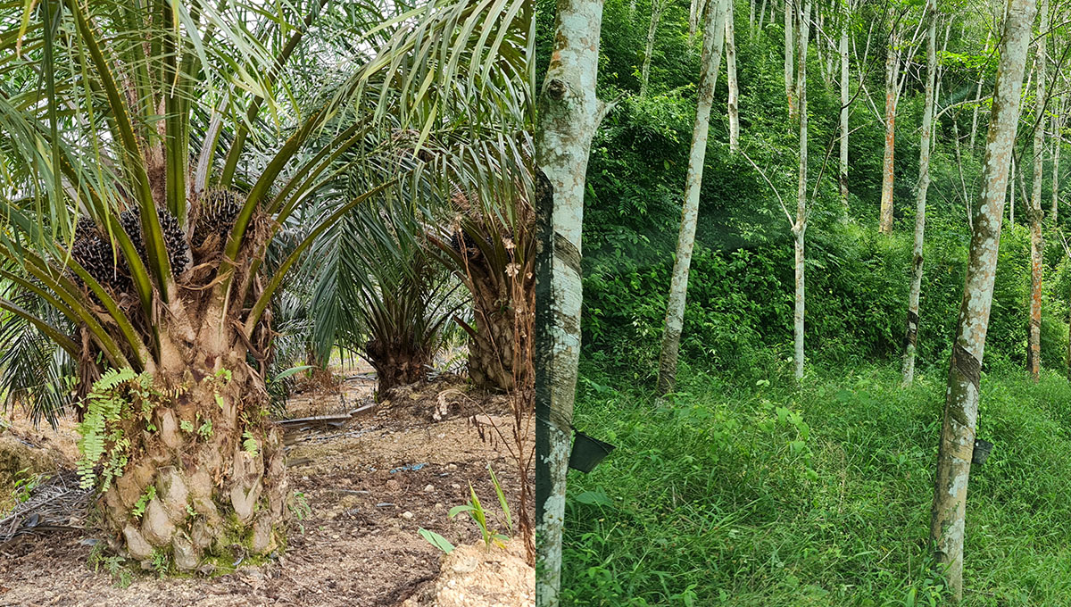 Oil Palm and rubber for lease
