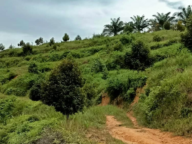 Raub – Cheroh, Pahang – 113 acres Freehold Oil Palm and Durian Plantation